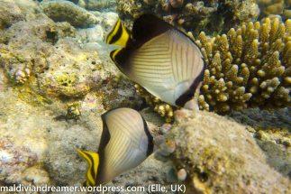 Biyadhoo Butterflyfish